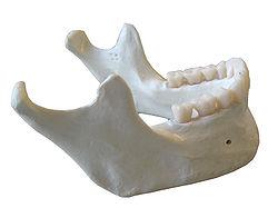 Croissance de la mandibule